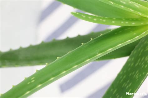 aloe vera facts 100 aloe vera plant facts the herb gardener how to