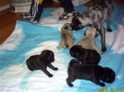 black pug puppies for sale in az pug puppies in arizona