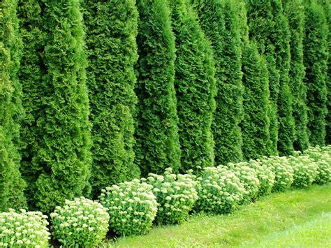 Thuja Smaragd Wachstum 3328 by Arbres Arbustres Haies Et Conif 232 Res 4 3 9