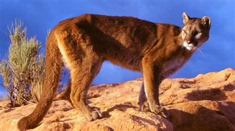 desktop hd pictures of mountain lion