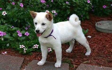 shiba inu puppies white shiba inu puppy jpg