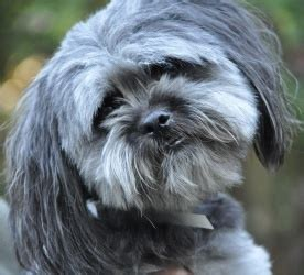 names for boys shih tzu boys shih tzu and home on