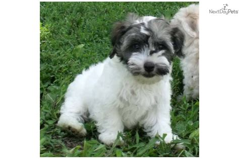 havanese puppies kansas havanese for sale for 475 near manhattan kansas 7b75c9e5 c8c1