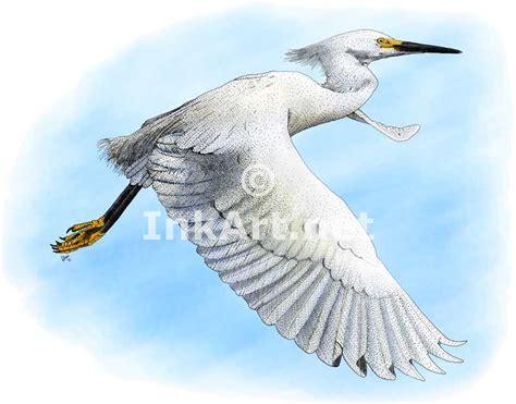 egret color snowy egret drawing