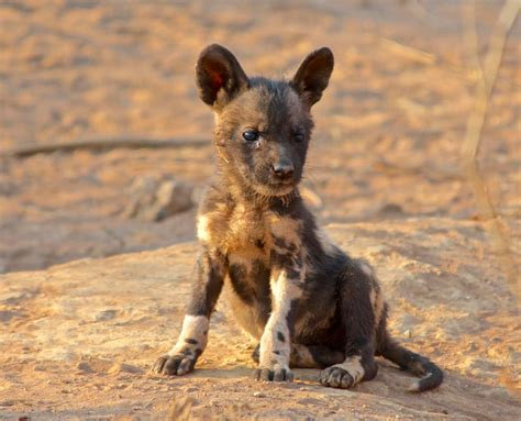puppy at puppy protocol in madikwe africa geographic