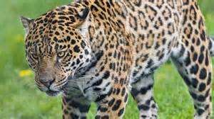 What Part Of The Rainforest Do Jaguars Live In Which Forests Do Jaguars Live In Reference