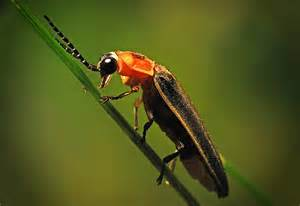 Lightning Bug Identify And Quot Call Quot Lightning Bugs The Infinite Spider