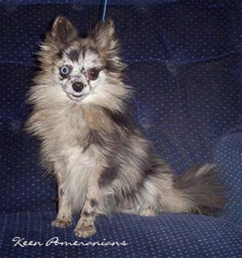 pomeranian uglies before after pictures pomeranian puppy uglies before and after breeds picture
