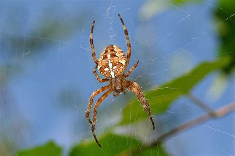 Garden Spider Poisonous by Garden Spider Araneus Diadematus Flickr Photo