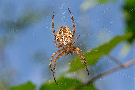 Garden Spider Is It Poisonous Garden Spider Araneus Diadematus Flickr Photo