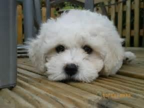 Years ago for sale dogs bichon frise shrewsbury