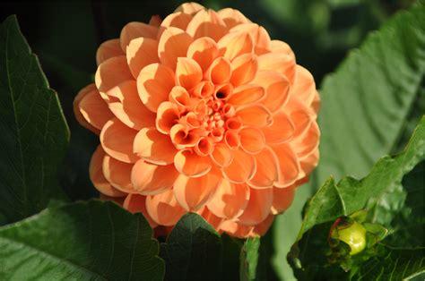 crl controsoffitti fiori dalie 28 images cura delle dalie bakker