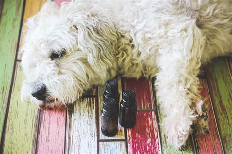 essential oils for fleas on dogs things to remember while using essential oils for fleas on pets