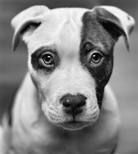black and white puppy black and white photography image 450046 on favim