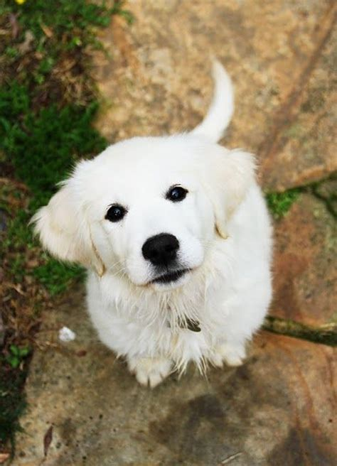how to stop golden retriever from shedding best 25 golden retrievers ideas on baby dogs retriever