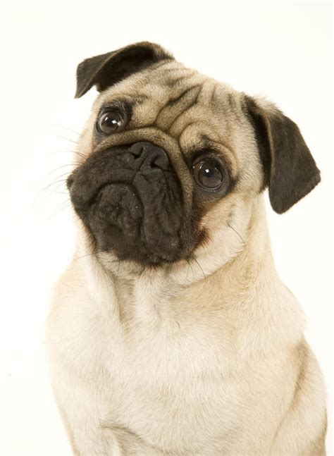 pug illnesses designer pugs dumped for illnesses caused by nature news express co uk