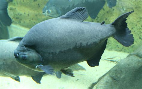 file schwarzer pacu colossoma macropomum tierpark hellabrunn 2 jpg wikimedia commons