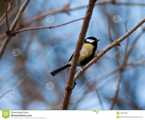 yellow breasted finch royalty free stock photos image