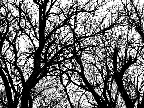 white tree black and white tree branches with leaves www pixshark