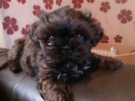 boy shih tzu for sale boy shih tzu for sale barnsley south pets4homes