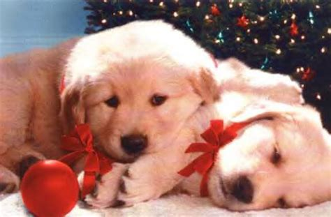 christmas wallpaper with puppies free christmas wallpapers christmas puppy wallpapers