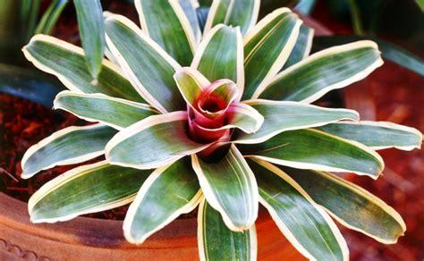 Indoor Houseplants by Bromeliads Burke S Backyard