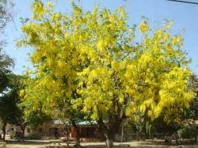 Difficult Plants To Grow by Azuero Earth Project Cassia Fistula Azuero Earth Project
