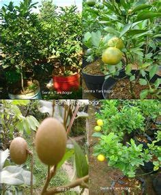 Biji Benih Buahtanaman Yellow Rambutan Fruit 1000 images about bonsai fruit on bonsai bonsai trees and bonsai fruit tree