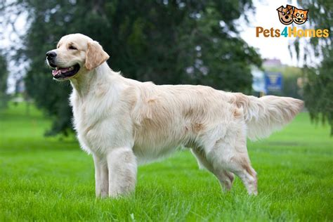 Golden Retriever Dog Breed Information, Buying Advice