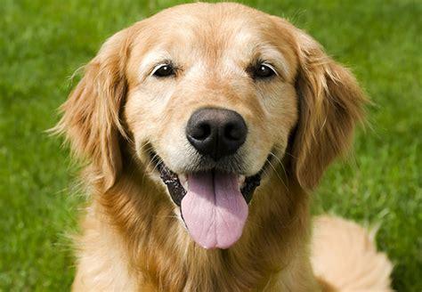 golden retriever pris golden retriever derfor er den verdens bedste familienhund