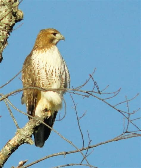 188 best images about nc birdies on pinterest western
