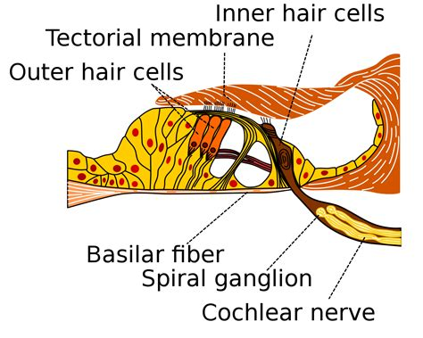 cross section meaning in urdu basilar membrane wikipedia