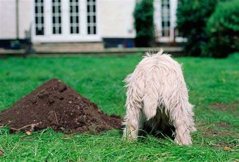 why do dogs dig holes in the backyard stop your dog s digging once and for all