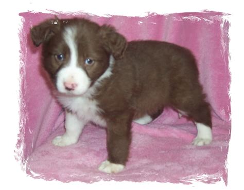 brown puppy names brown border collie puppy names