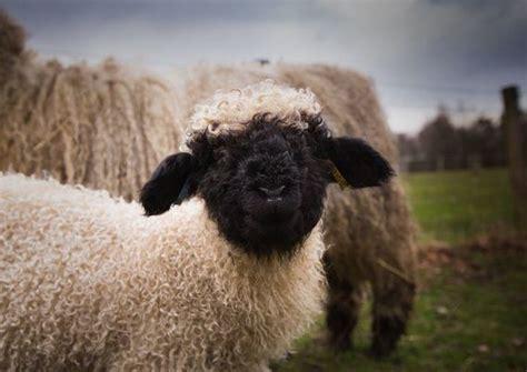 people  figure    sheep  cute  creepy
