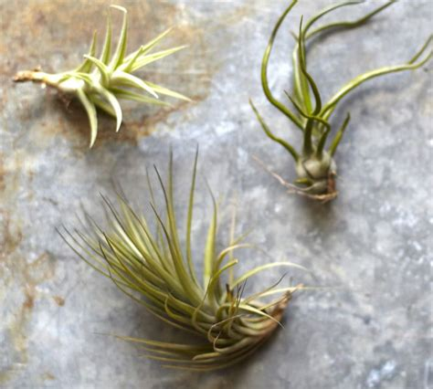 Indoor Plants To Clean Air by Spring Is In The Air Air Plants Amp Orbs