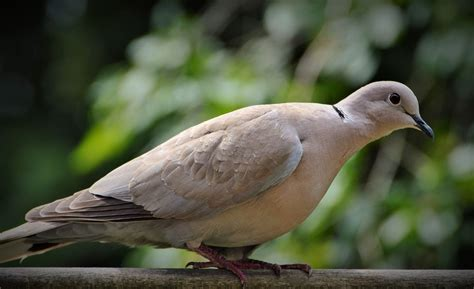 images of doves dove and pigeon identification tips