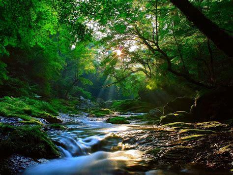 beautiful sunlight  forest wallpaper