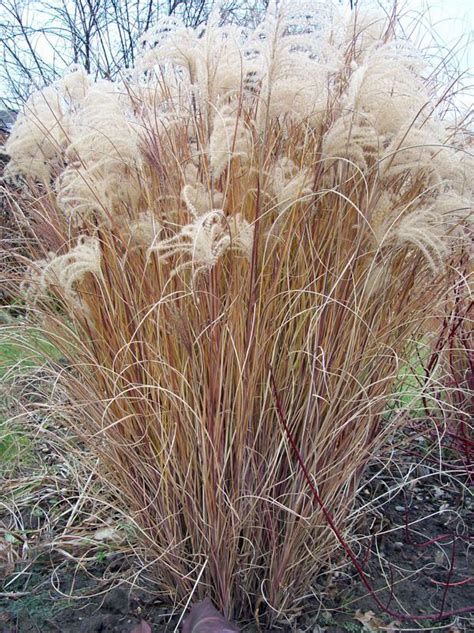 royalite lighting amherst ny miscanthus sinensis morning light in amherst ny
