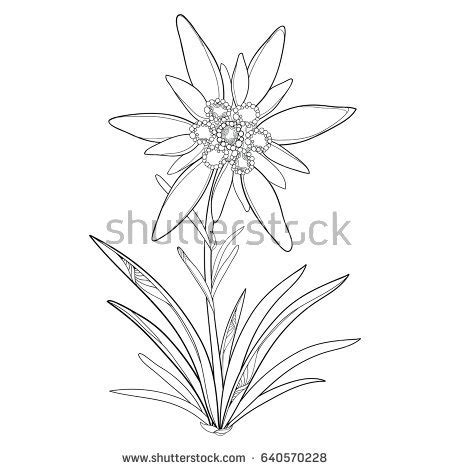 edelweiss flower coloring page vector outline edelweiss or leontopodium alpinum flower