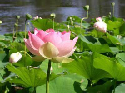 wallpaper bunga lotus 2013 06 02 cara menanam bunga