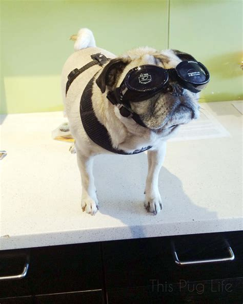 goggles for pugs pug wears his sunglasses at this pug