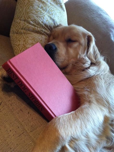 golden cocker retriever price range 17 best images about animals reading on books bacon price and beagle