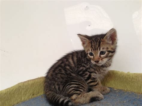 toyger cat silver white toyger roman toygers pictures