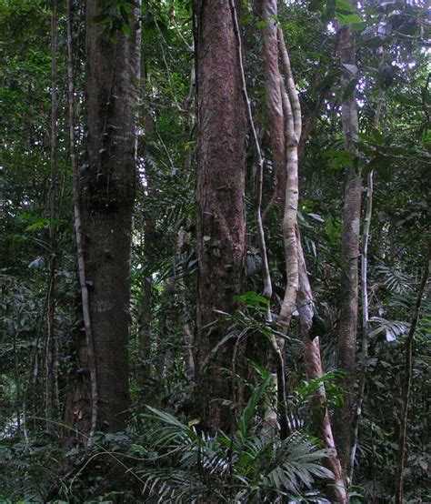 What Does Canopy In The Rainforest Rainforest