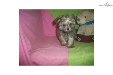 maltipoo puppies for sale in ma meet ethan a malti poo maltipoo puppy for sale for 652 maltipoo nj ny ct