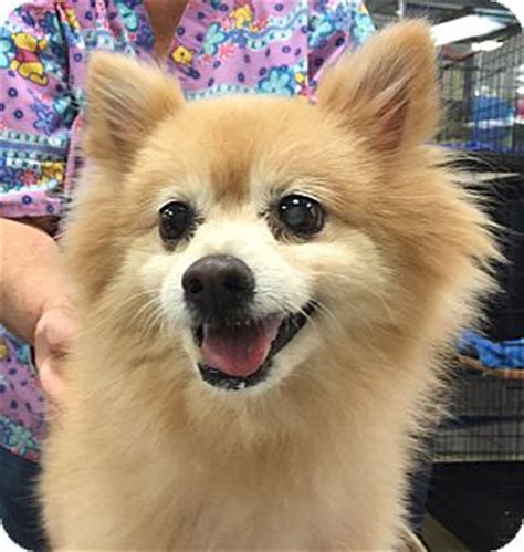 pomeranian rescue orlando faith adopted faith orlando fl pomeranian