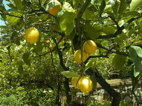 new year citrus tree free lemon tree stock photo freeimages