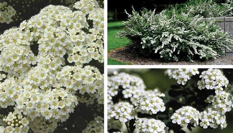 evergreen flowering shrubs sun evergreen bushes with snow related keywords evergreen