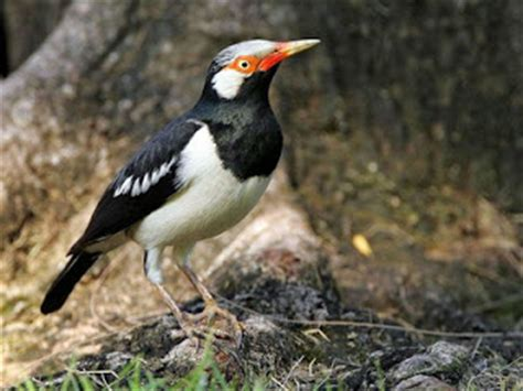Pakan Walet Nusantara burung jalak suren kalimantan burung kicau